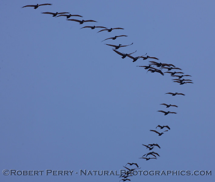 "A massive ""V"" shaped flock of Brown Pelicans (Pelecanus occidentalis)."