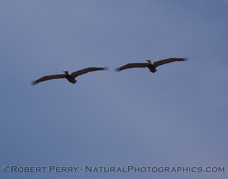 Dual Brown Pelicans (Pelecanus occidentalis)...a bit distant.