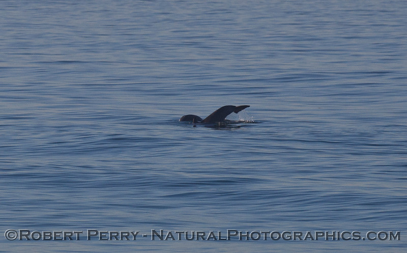 Inshore Bottlenose Dolphins (Tursiops truncatus) fooling around.