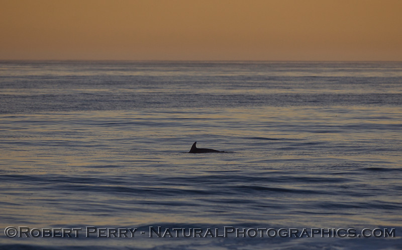 Inshore Bottlenose Dolphin (Tursiops truncatus) at dawn.