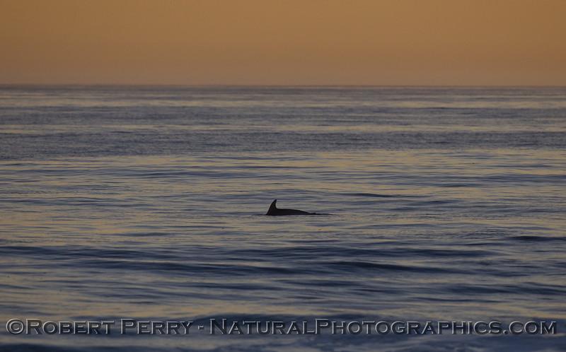 Inshore Bottlenose Dolphin (Tursiops truncatus) at dawn.