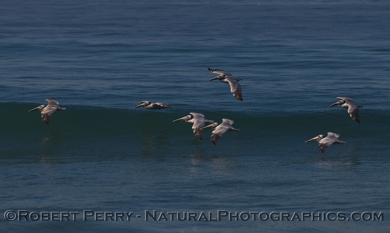 Surfing cluster of Brown Pelicans (Pelecanus occidentalis).