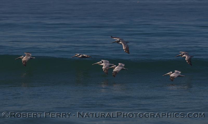 Surfing cluster of Brown Pelicans (Pelecanus occidentalis).