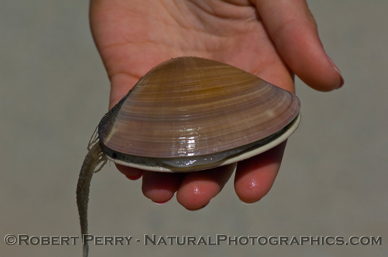 A juvenile Pismo clam (Tivela stultorum ) with a hydroid colony (Clytia bakerii ) attached.
