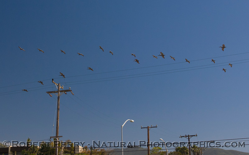 Brown pelicans (Pelecanus occidentalis) soaring in both directions at once creating a criss-cross pattern.