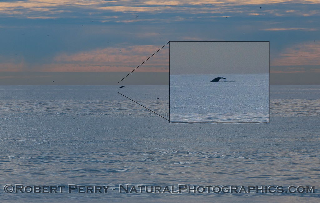 Gray Whale (Eschrichtiuis robustus) tail flukes about a mile offshore.
