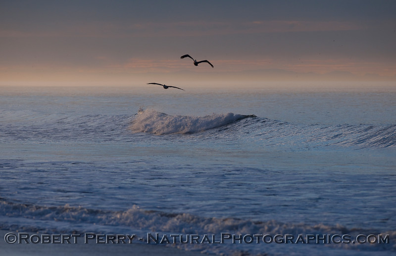 Brown Pelicans (Pelecanus occidentalis) at dawn.
