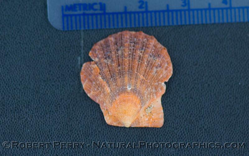 Crassidoma gigantea shell JUV 2011 09-22 Zuma - 007