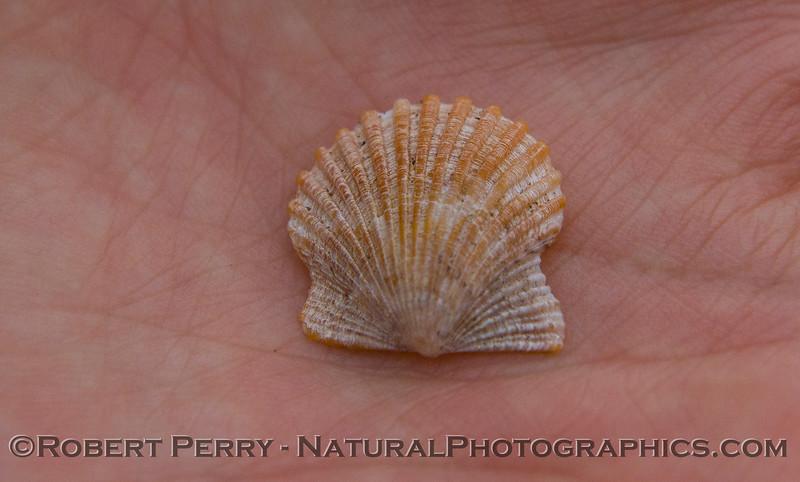 Argopecten ventricosus in hand CLOSE 2011 09-22 Zuma - 003