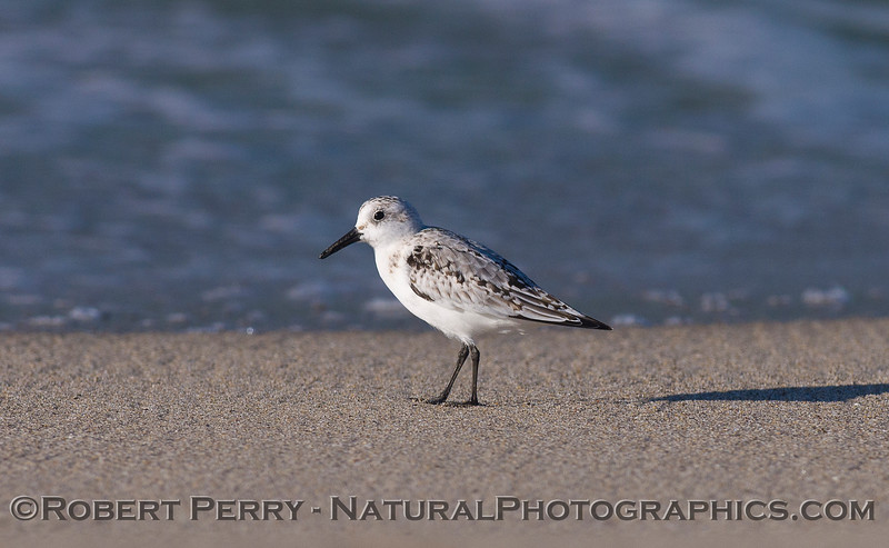 A lone Sanderling (<em>Calidris alba</em>) patrols for sand crabs.
