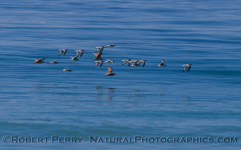 Three Marbled Godwits (<em>Limosa fedoa</em>) and a small squadron of Sanderlings (<em>Calidris alba</em>).