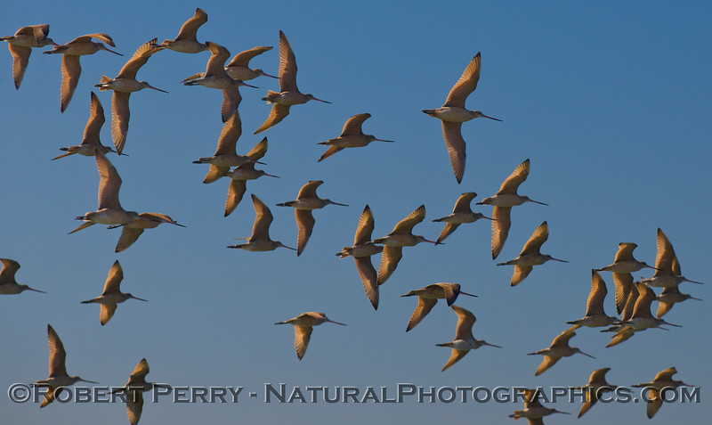 More Marbled Godwits (<em>Limosa fedoa</em>) in the morning light.