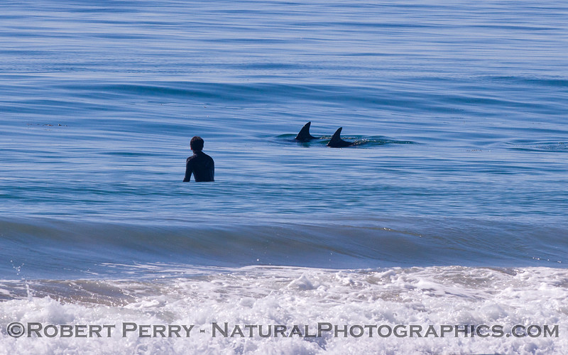 A surfer and two friendly Bottlenose Dolphins (<em>Tursiops truncatus</em>).