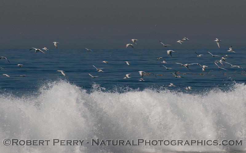Elegant Terns (<em>Sterna elegans</em>) in flight above the waves.