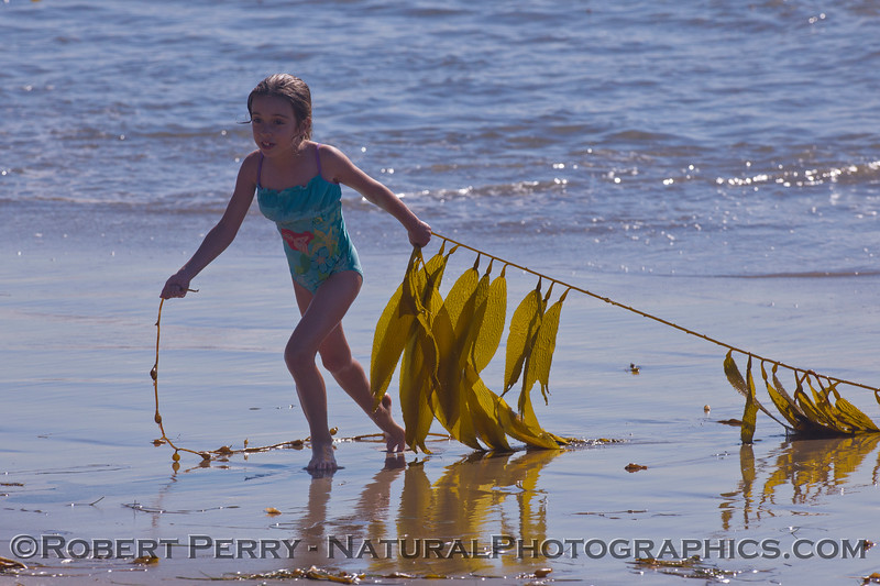 A young botanist collects a sample of Giant Kelp (<em>Macrocystis pyrifera</em>).