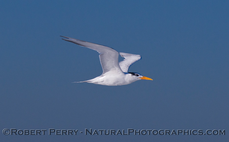 Elegant Tern in flight (<em>Sterna elegans</em>).