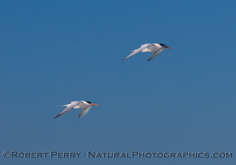 Elegant Terns in flight (<em>Sterna elegans</em>).