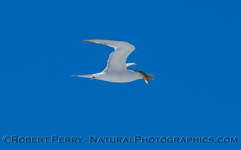 An Elegant Tern (<em>Sterna elegans</em>) in flight with a Northern Anchovy (<em>Engraulis mordax</em>) in its mouth.