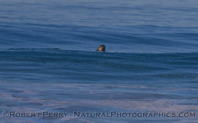 Image 2 of 2: A Harbor Seal (<em>Phoca vitulina</em>) turns around and takes a look at the camera.