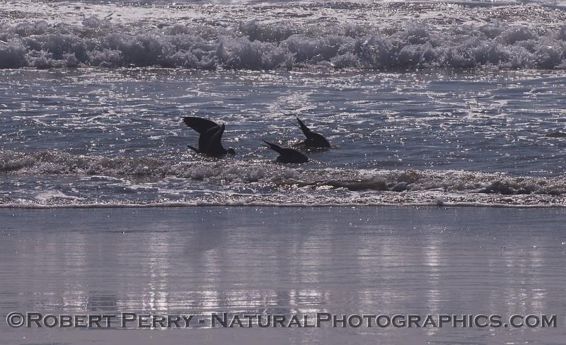 Three Heermann's Gulls (<em>Larus heermanni</em>) take a unique feeding posture:  bobbing for sand crabs in the wave wash.