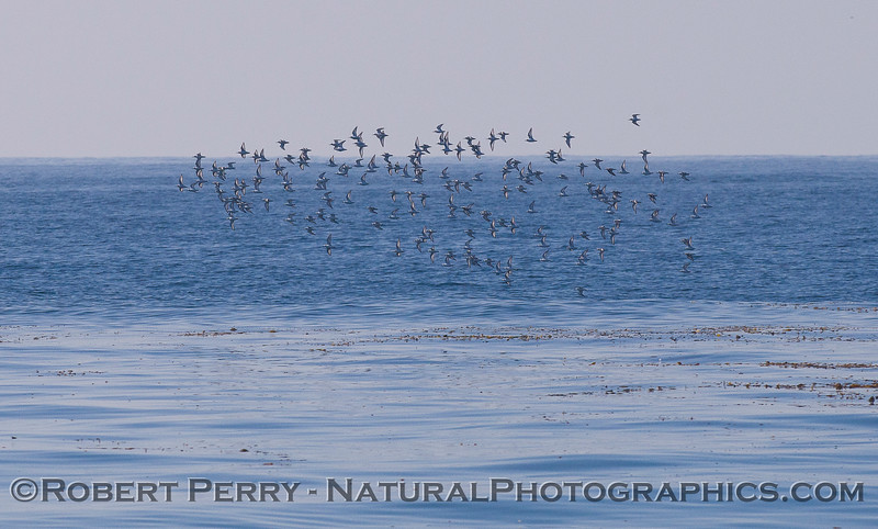 A nice sized flock of Sanderlings (<em>Calidris alba</em>) take a swing offshore across a slick (tidal front) line full of drifting kelp debris.