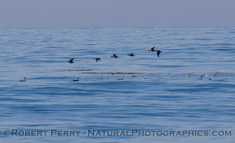 In the air, a flock of Surf Scoter (<em>Melanitta perspicillata</em>) flies across a group of Western Grebes (<em>Aechmophorus occidentalis</em>) sitting on the water.