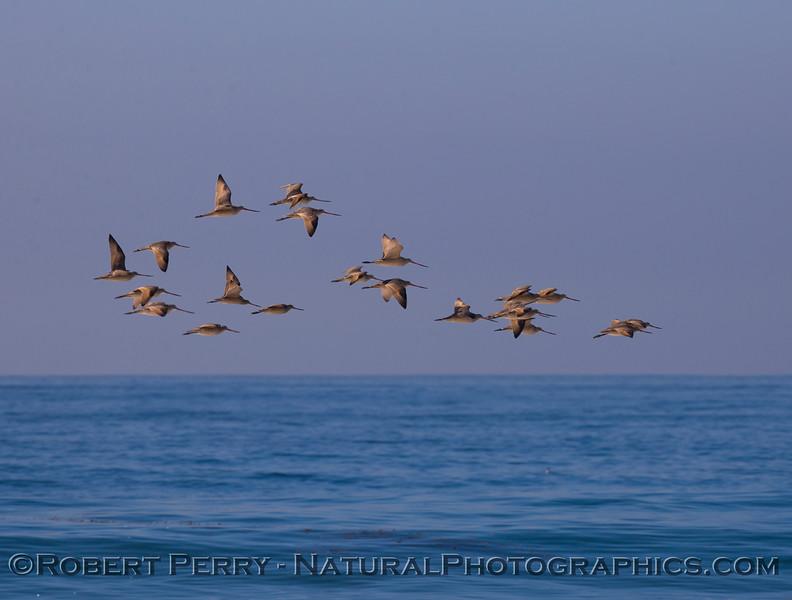 Limosa fedoa flock in flight 2011 10-27 Zuma - 131