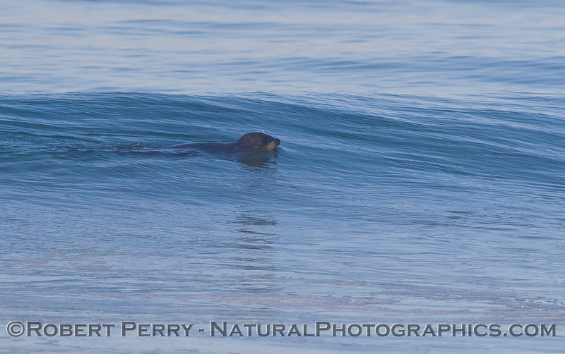 Image 1 of 2: A Harbor Seal (<em>Phoca vitulina</em>) cruises the surf zone in search of surfperch.