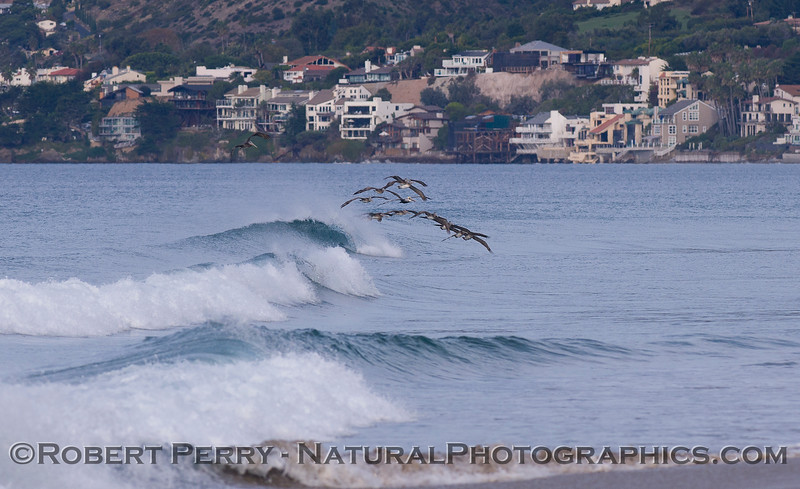 Pelecanus riding wave Broad Beach in back 2011 11-10 Zuma - 092