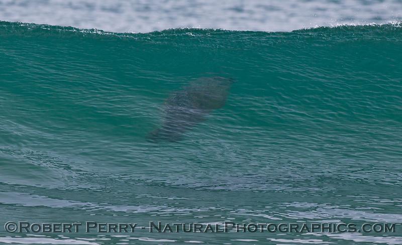 Phoca vitulina UW in wave 2011 11-10 Zuma - 209