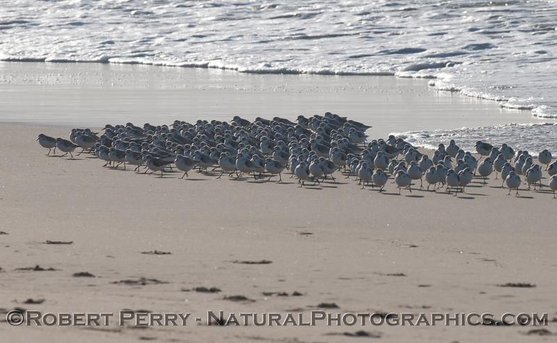 Sanderlings on the beach in a tight formation. <em>Calidris alba</em> flock 2011 12-01 -Zuma - 005