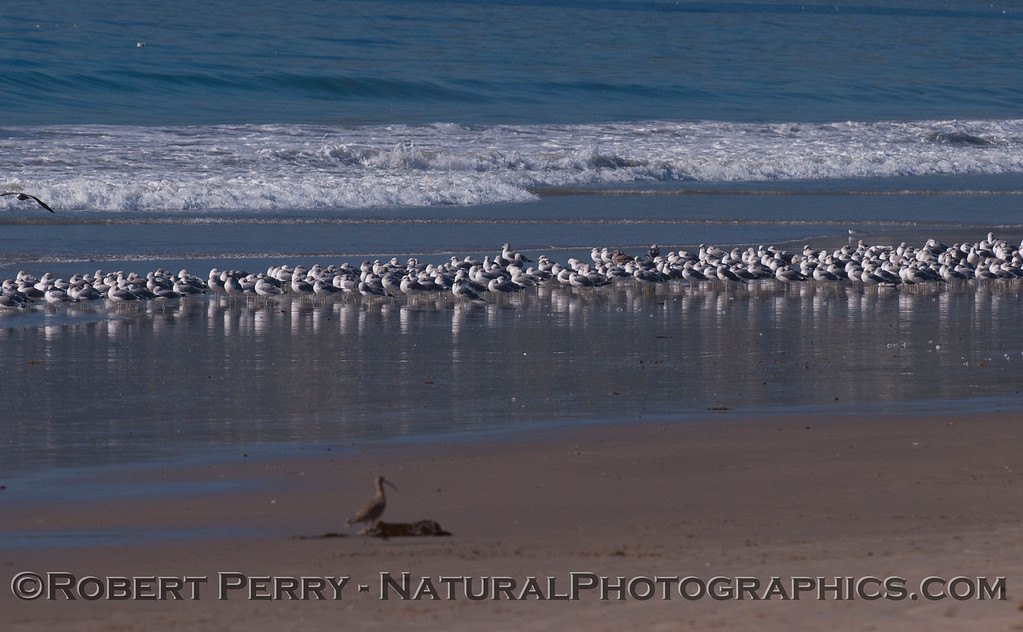 Masses of gulls (<em>Larus</em>) on the wet sand.