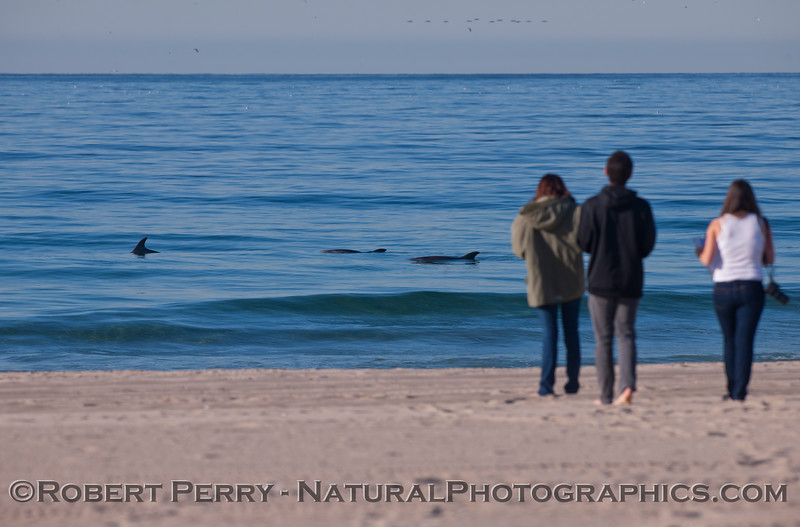 """Our """"living laboratory"""" at the Zuma Beach research station.  A herd of Inshore Bottlenose Dolphins, <em>Tursiops truncatus</em>, slowly heads east as student researchers record a nice flock of high-flying Brown Pelicans, <em>Pelecanus occidentalis</em>, on a calm, sunny Thursday."""