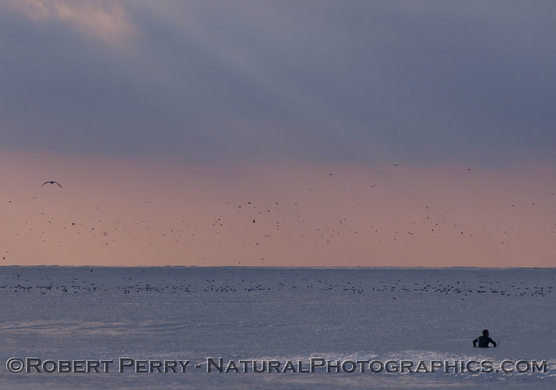 Dawn at Zuma Beach.  A lone surfer and masses of gulls (<em>Larus</em> sp.).