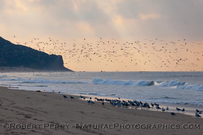 Westward Beach and Point Dume with gulls (<em>Larus</em> sp.).