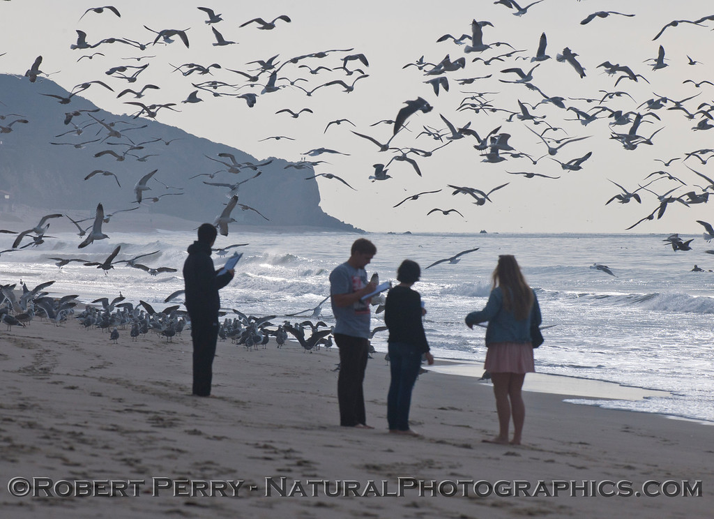 Masses of gulls (<em>Larus</em> sp.) and student researchers.