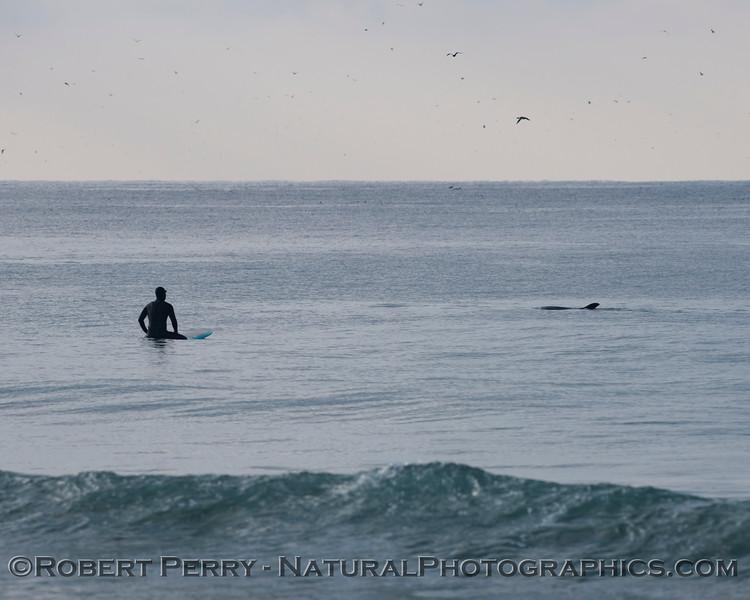 A surfer gets a visit from a Bottlenose Dolphin, <em>Tursiops truncatus</em>.