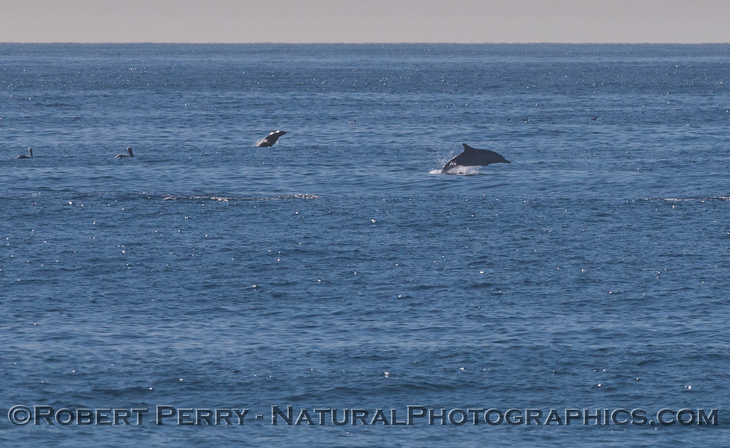 When you see a herd of Common Dolphins (<em>Delphinus capensis</em>) all leaping and jumping, chances are you'll find a few California Sea Lions (<em>Zalophus californianus</em>) mixed in and leaping along with the rest.