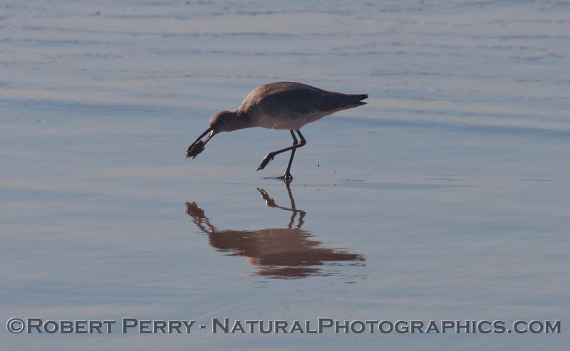 A Marbled Godwit (<em>Limosa fedoa</em>) eating a common Sand Crab (<em>Emerita analoga</em>).