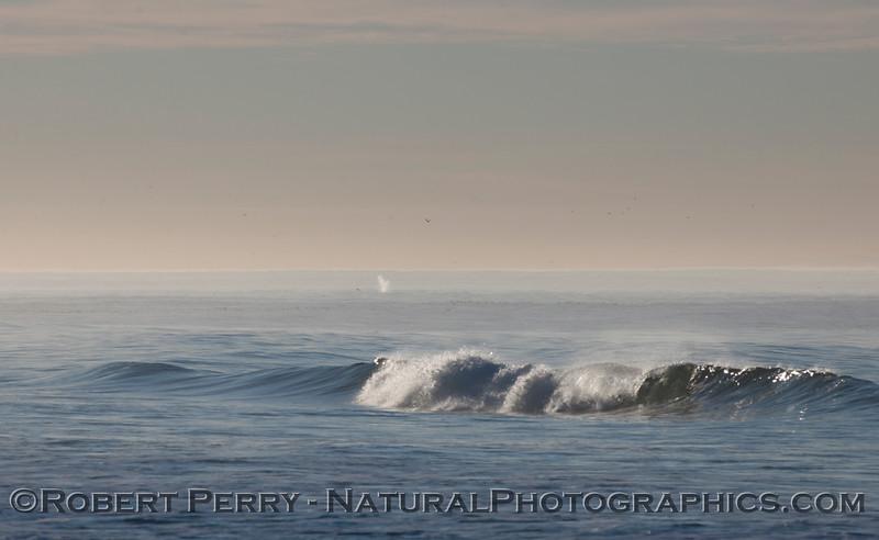 A southbound Gray Whale (<em>Eschrichtius robustus</em>) sends up a characteristic heart-shaped spout about a half mile offshore.