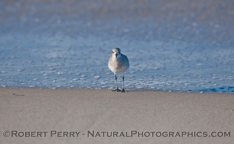 Black-Bellied Plover (<em>Pluvialis squatarola</em>), face to face.