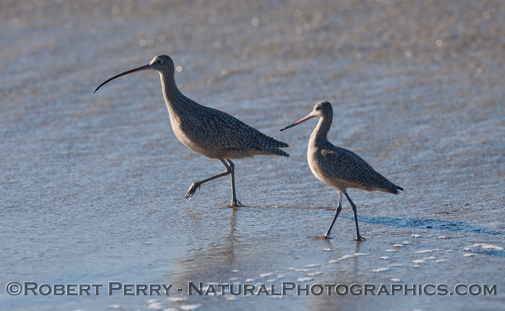 For comparison purpose, a Whimbrel (<em>Numenius phaeopus</em>) on the left, and a Marbled Godwit (<em>Limosa fedoa</em>) on the right.