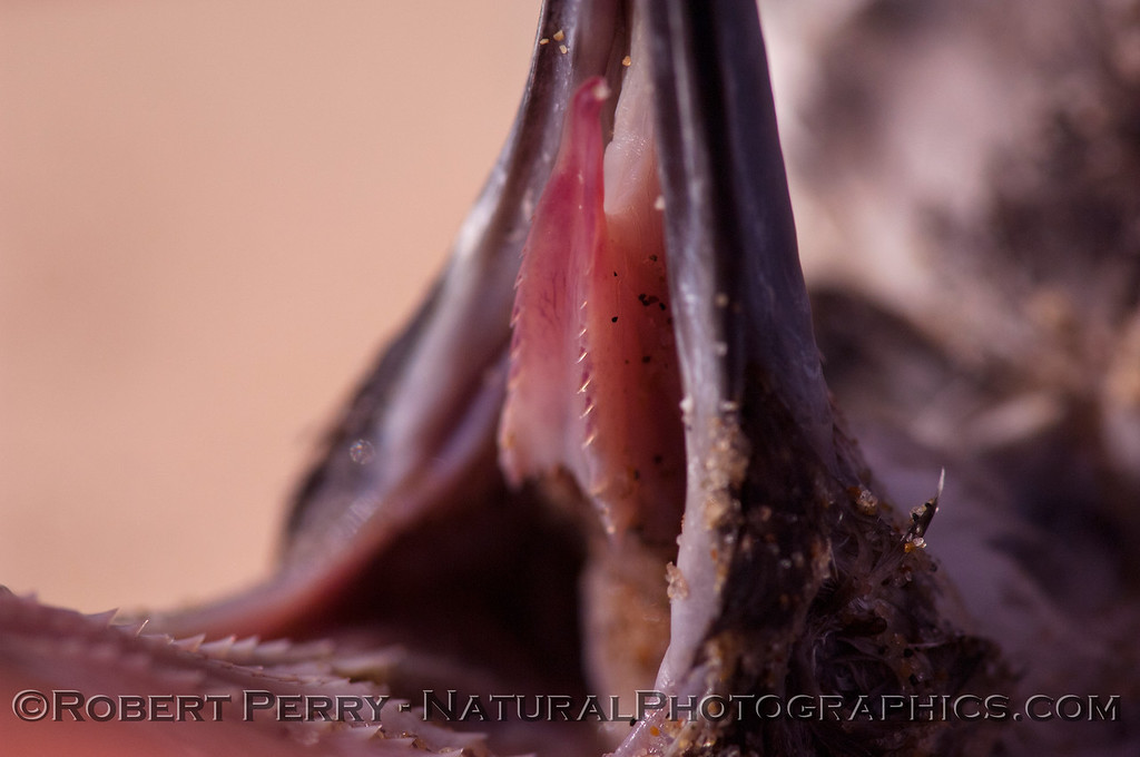 Puffinus opishtomelas spines on tongue 2012 01-12 Zuma-a-003