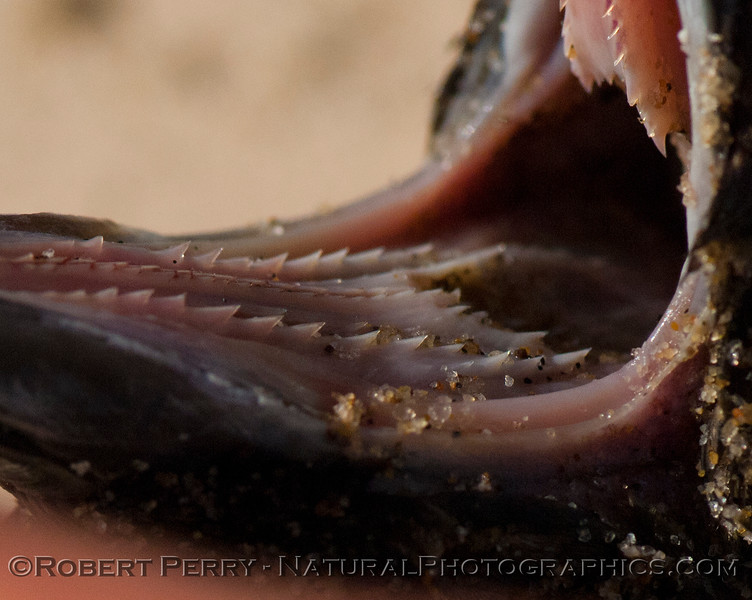 Puffinus opishtomelas oral cavity & spines 2012 01-12 Zuma-a-007