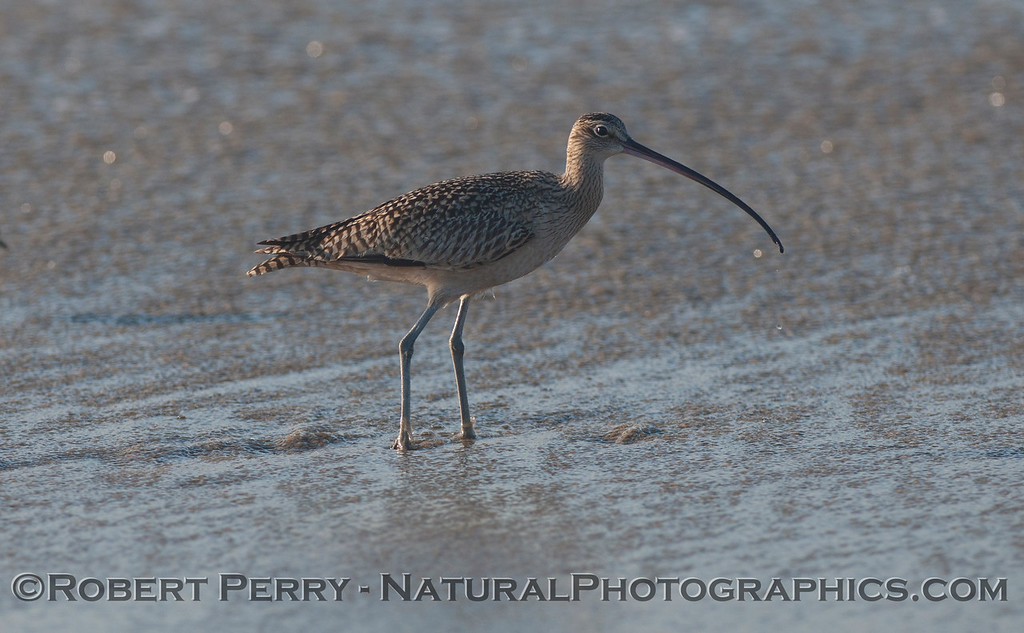 Whimbrel (<em>Numenius phaeopus</em>).