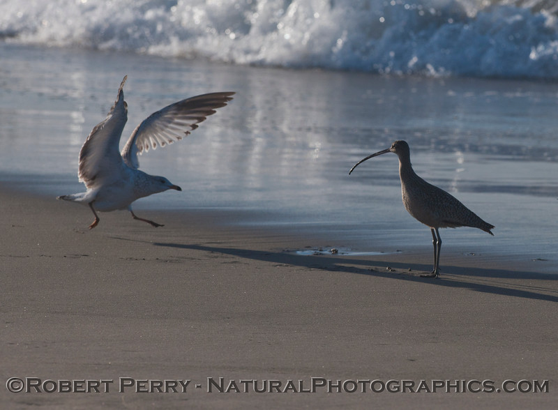 Here we see how the Gulls (<em>Larus</em> sp.) keep a watchful eye on the shorebirds like this Whimbrel (<em>Numenius phaeopus</em>), and wait until a Sand Crab (<em>Emerita analoga</em>) has been retrieved.  Then the gull swoops in and steals the catch.