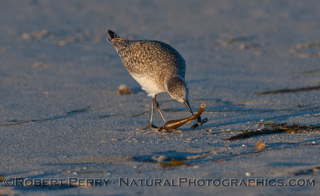 Image 1 of 3:  A Black-bellied Plover (<em>Pluvialis squatarola</em>) picks a Lady Bug (Lady Bird Beetle, <em>Coccinella septempunctata</em>) off the macrophyte wrack.