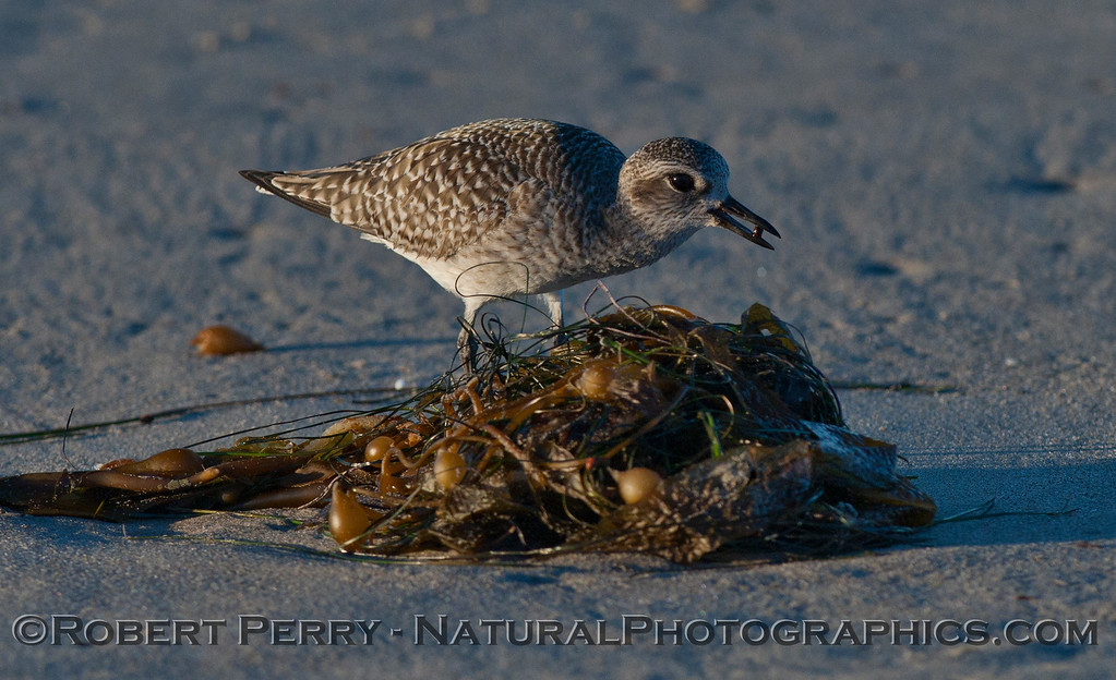 Image 3 of 3:  A Black-bellied Plover (<em>Pluvialis squatarola</em>) picks a Lady Bug (Lady Bird Beetle, <em>Coccinella septempunctata</em>) off the macrophyte wrack.