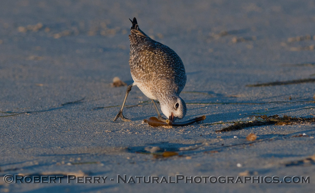 Image 2 of 3:  A Black-bellied Plover (<em>Pluvialis squatarola</em>) picks a Lady Bug (Lady Bird Beetle, <em>Coccinella septempunctata</em>) off the macrophyte wrack.