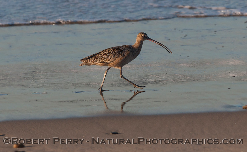 A Whimbrel (<em>Numenius phaeopus</em>) with a tiny sand crab in its beak.